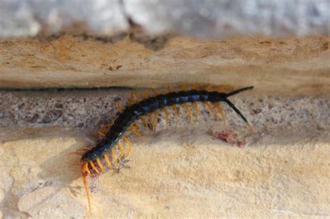 texas redheaded centipede jpg 2048x1365